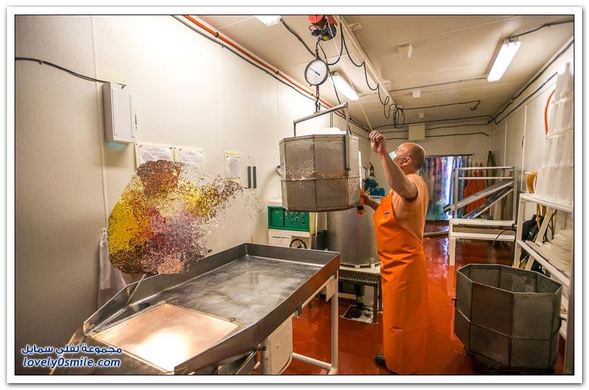كيفية استخراج الكافيار الأحمر