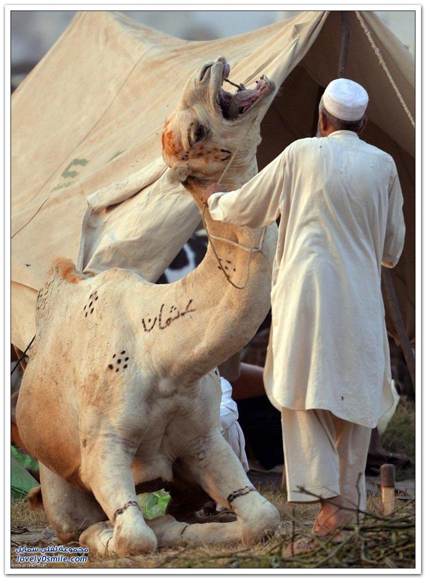 أضاحي العيد 1436هـ