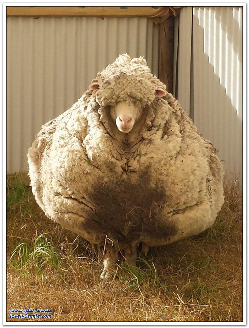 خروف يحقق رقماً قياسياً بصوفٍ يزن 40 كيلوغراما