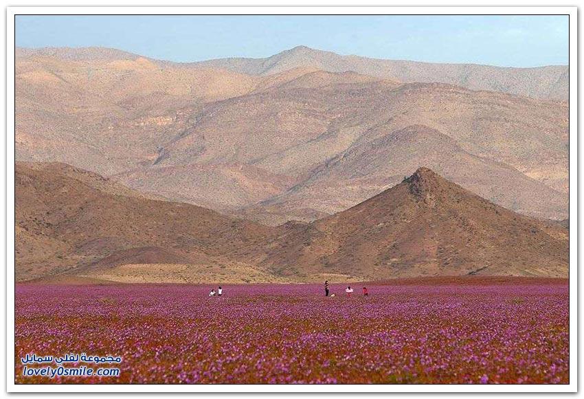 هذا ما يحدث عندما يسقط المطر على الصحراء الأكثر جفافا في العالم