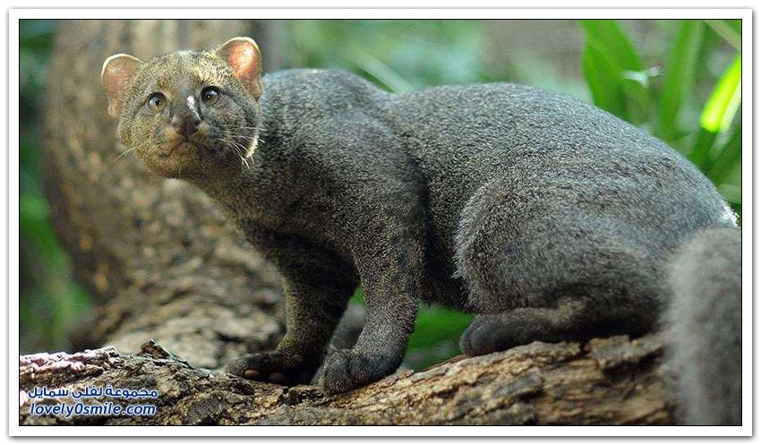 أنواع القطط البرية