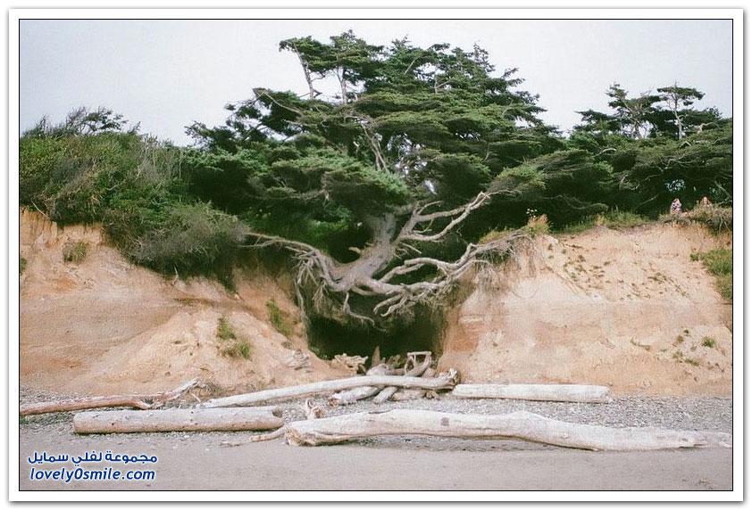 شجرة استثنائية في الحديقة الوطنية الأولمبية في واشنطن