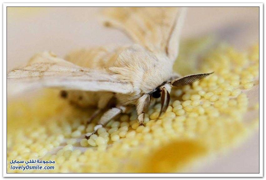 دودة القز وإنتاج الحرير الطبيعي