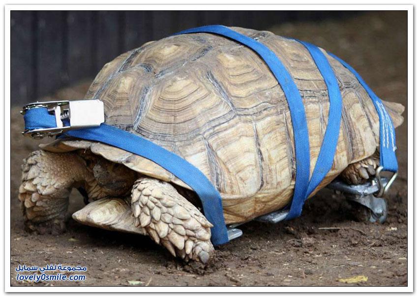 الأجهزة البديلة للحيوانات المعاقة