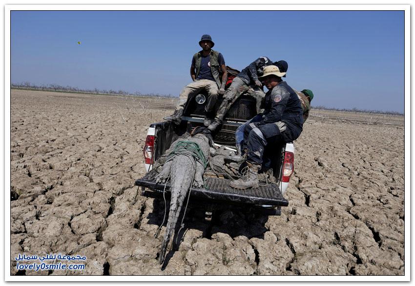 موجة جفاف تحنط تماسيح باراغواي