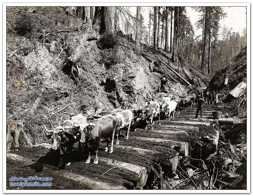 قطع الأشجار الضخمة في أمريكا في بداية القرن الماضي