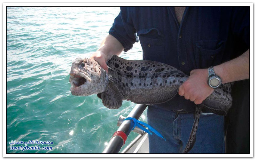 ثعبان البحر الذئب