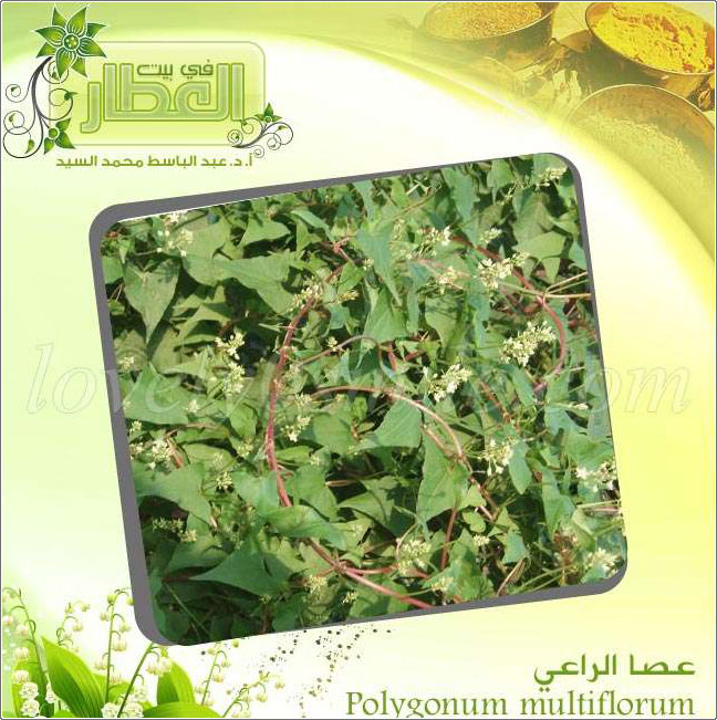 عصا الراعي - Polygonum multiflorum