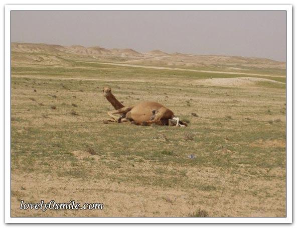 صور التقطت أثناء عمليه ولاده طبيعية camel-delivery-01.jp