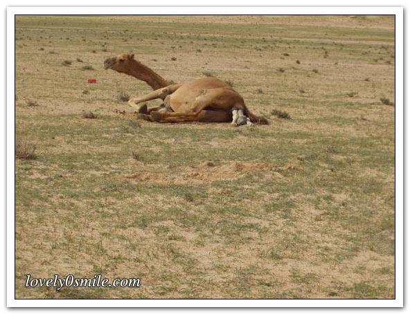 صور التقطت أثناء عمليه ولاده طبيعية camel-delivery-02.jp