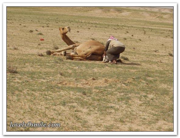 صور التقطت أثناء عمليه ولاده طبيعية camel-delivery-03.jp