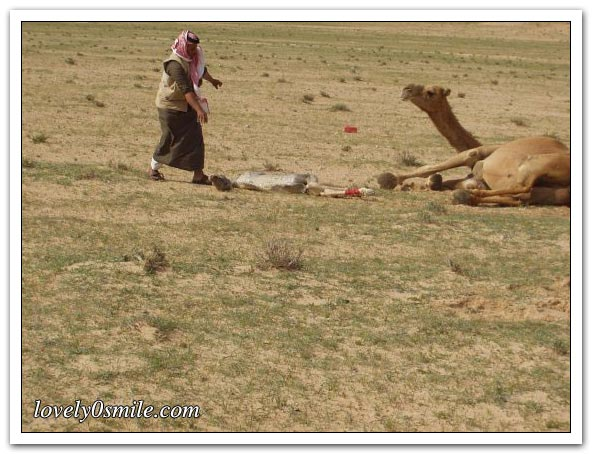 صور التقطت أثناء عمليه ولاده طبيعية camel-delivery-04.jp