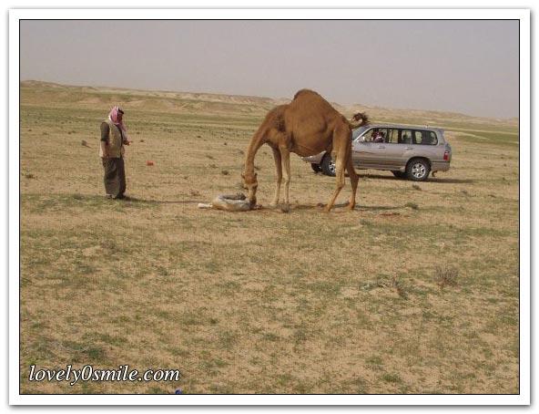 صور التقطت أثناء عمليه ولاده طبيعية camel-delivery-06.jp