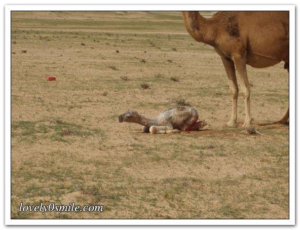 صور التقطت أثناء عمليه ولاده طبيعية camel-delivery-07.jp