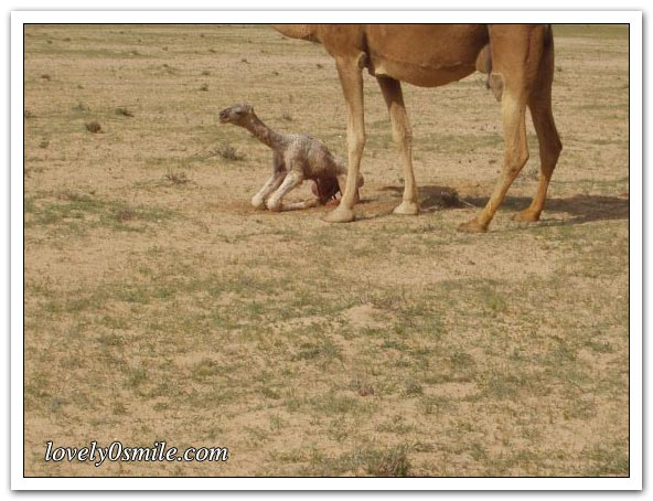 صور التقطت أثناء عمليه ولاده طبيعية camel-delivery-08.jp