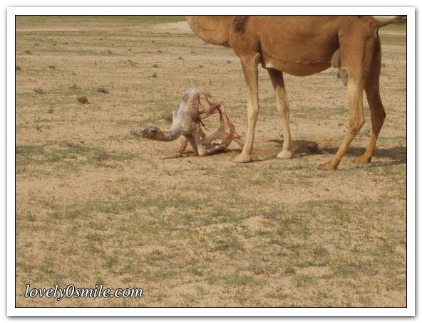 صور التقطت أثناء عمليه ولاده طبيعية camel-delivery-09.jp