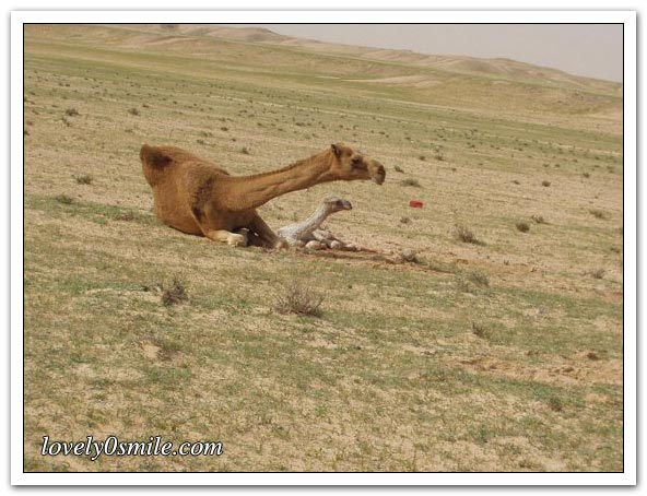 صور التقطت أثناء عمليه ولاده طبيعية camel-delivery-10.jp