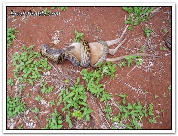 ����� ����� ��������� snake-swallow-kango-01.jpg