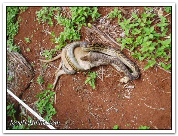 ����� ����� ��������� snake-swallow-kango-03.jpg