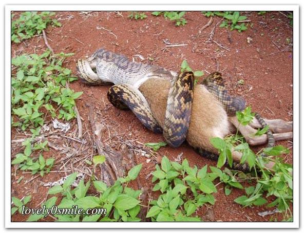 ����� ����� ��������� snake-swallow-kango-04.jpg