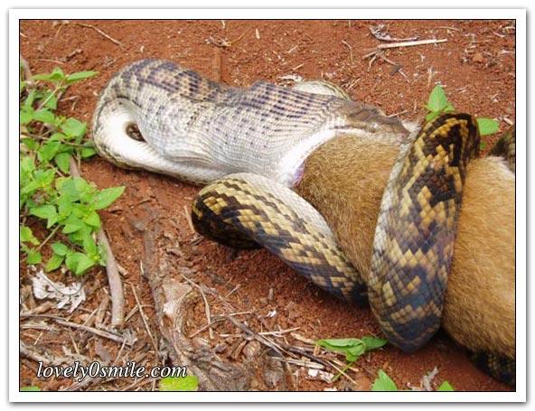 ثعبان يبلع كنغر - صور