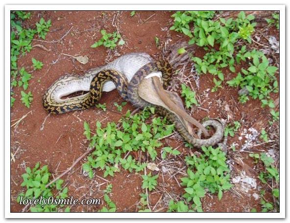 ����� ����� ��������� snake-swallow-kango-06.jpg