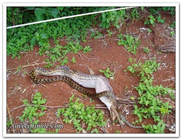 ����� ����� ��������� snake-swallow-kango-09.jpg