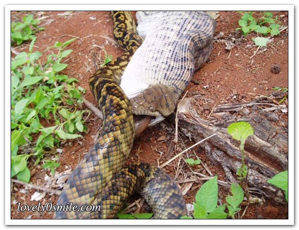 ����� ����� ��������� snake-swallow-kango-10.jpg