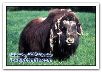 حيوانية, وقد ورد ذكر المسك في القرآن الكريم في وصف