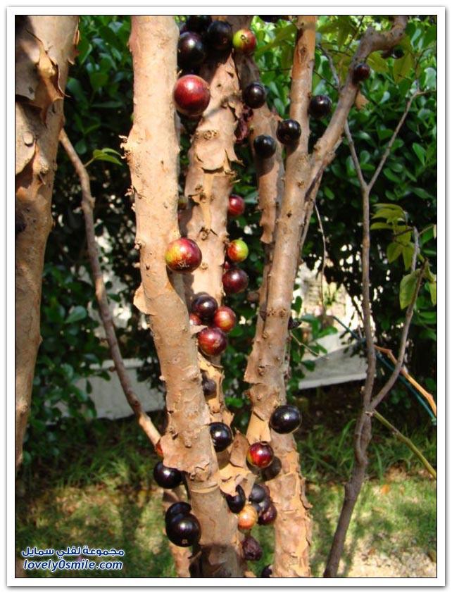 صور شجرة العنب البرازيلي