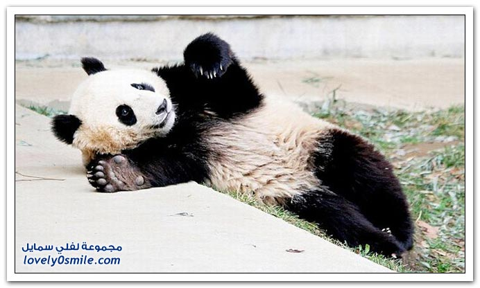 الباندا والانقلاب أثناء النوم