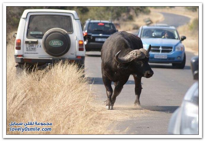 صور في حديقة الحيوان بجنوب أفريقيا لبوة تحاول أكل جاموس