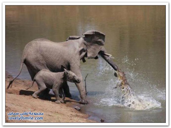 صور هجوم التمساح على طفل الفيل