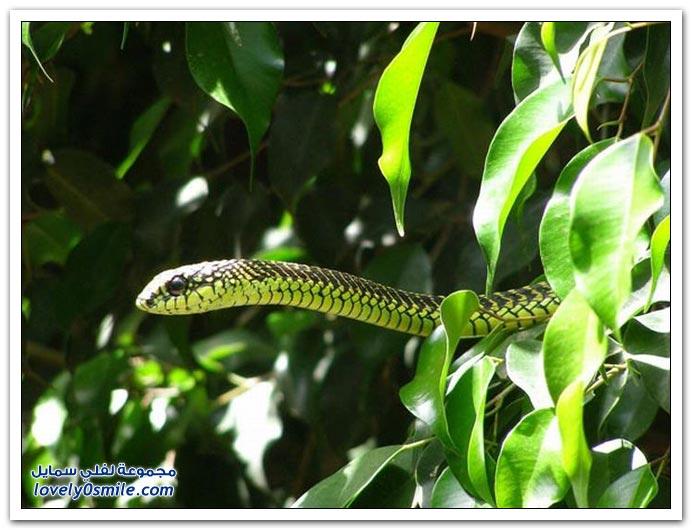 الثعابين الأكثر سمية