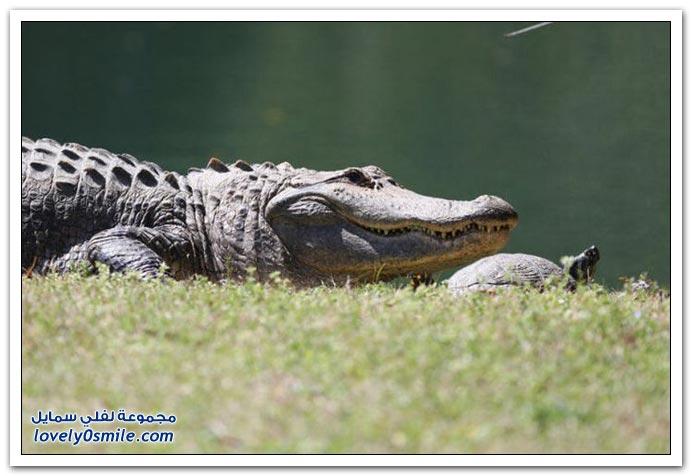 صور التمساح والسلحفاة صديقان