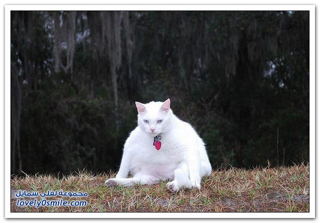صور: قطط أحجام كبيرة ج2