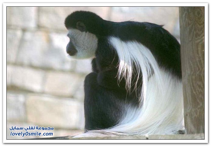 قرد الكولوبوس ذو اللون الأسود والأبيض