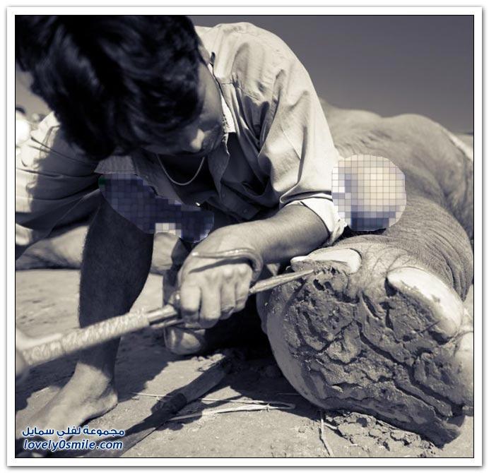 قص أظافر الفيل