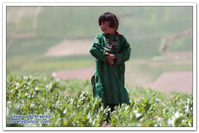 تدمير حقول الخشخاش في أفغانستان