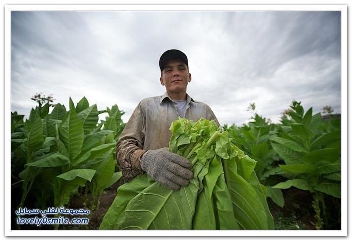 زراعة التبغ