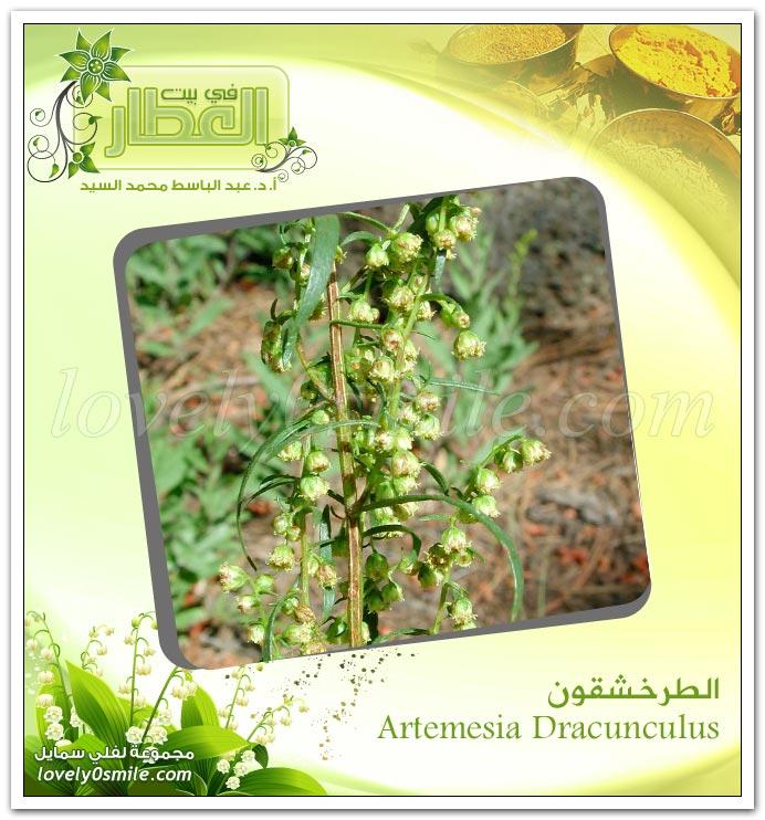 الطرخشقون - Artemesia Dracunculus