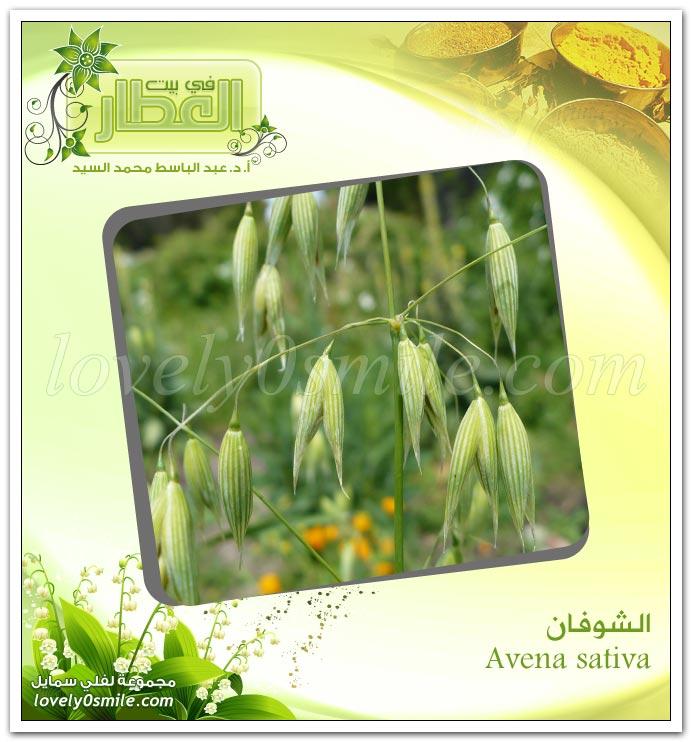 الشوفان - Avena sativa