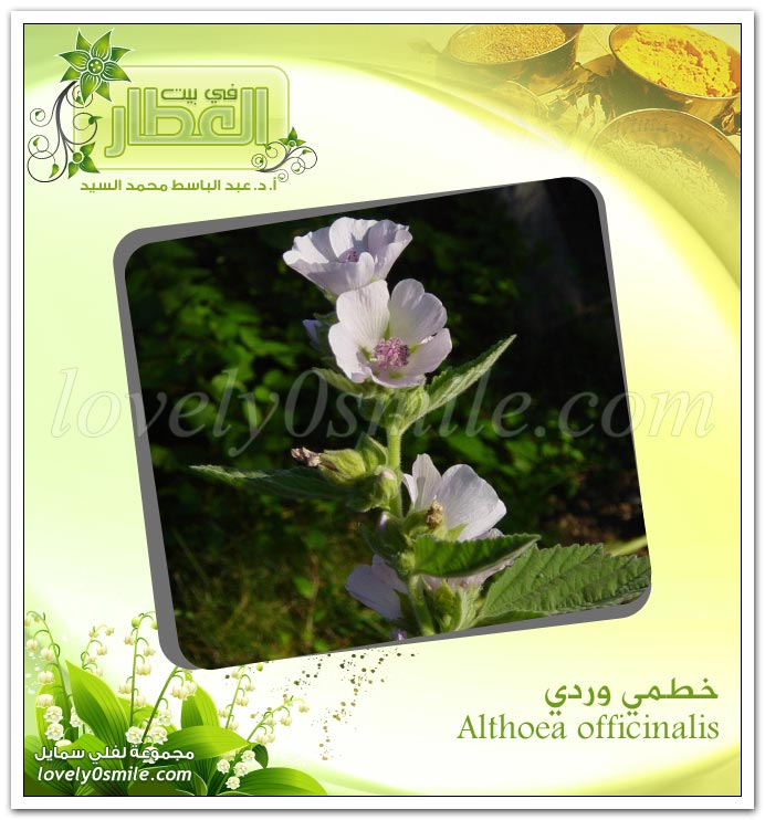 خـطمي وردي + شجرة البوهينيا (خف الجمل)