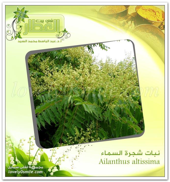 زهرة العطاس (أرنيكا) + نبات شجرة السماء