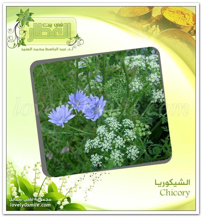 الشيكوريا -  Chicory