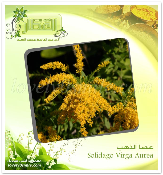 عصا الذهب -Solidago Virga Aurea