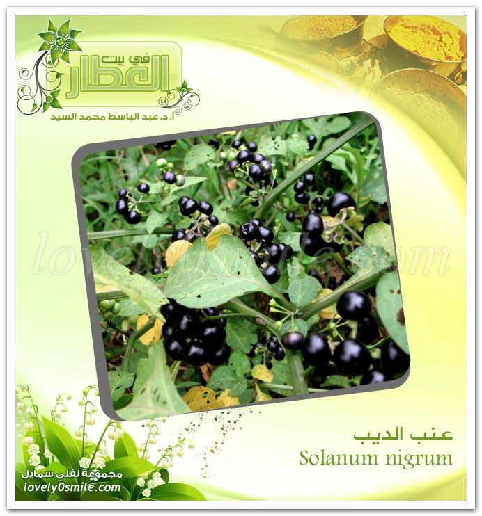 عـنب الديب -  Solanum nigrum