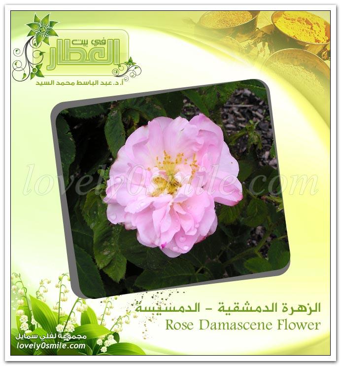 الدمسيسة (الزهرة الدمشقية) - Rose Damascene Flower