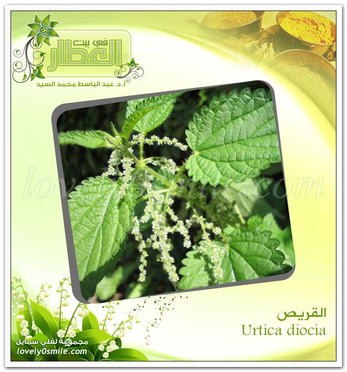 القريص - Urtica diocia