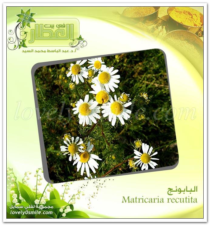 البابونج - Matricaria recutita